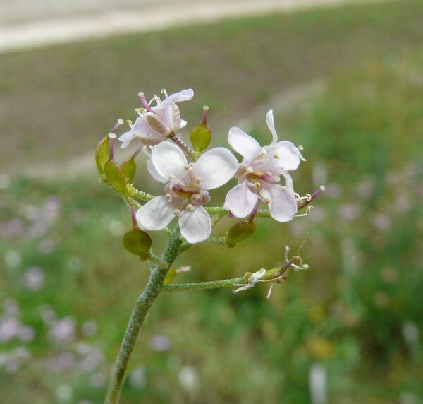 Alyssum spinosum L.