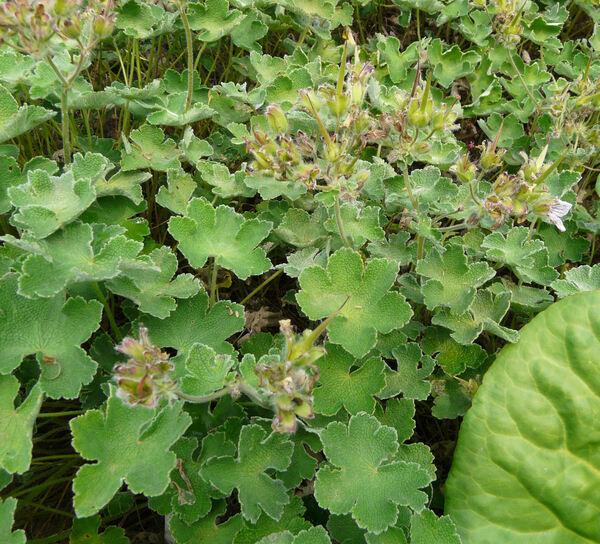 Geranium leptodactylon Veldkamp