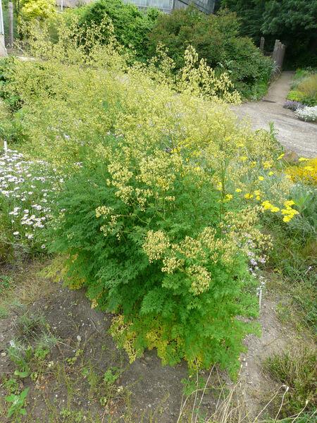 Thalictrum minus L. subsp. pseudominus (Borbás) Soó