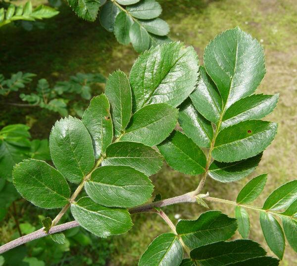 Sorbus x 'titan'