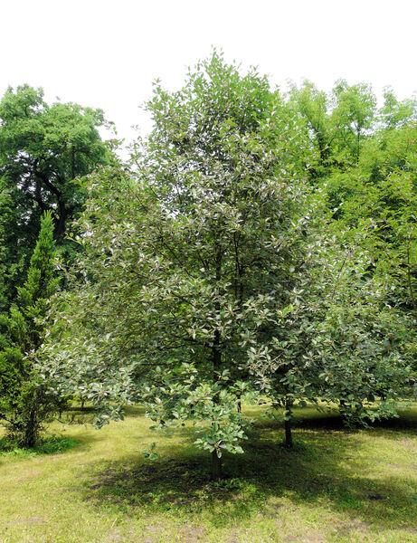 Sorbus decipiens (Bechst.) Irmisch ex Petz. & Kirchn. subsp. semiincisa (Borbás) Hedl.