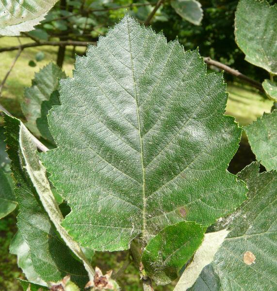 Sorbus latifolia (Lam.) Pers.