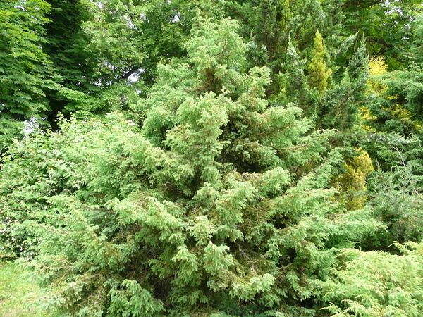 Juniperus drupacea Labill.
