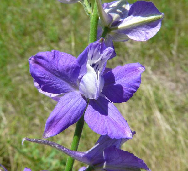 Delphinium fissum Waldst. & Kit. subsp. fissum