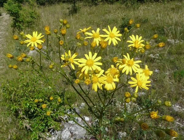 Jacobaea vulgaris Gaertn. subsp. vulgaris