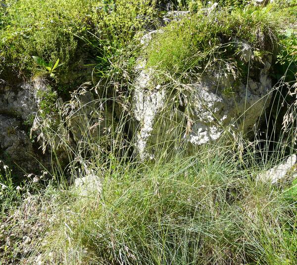 Leucopoa laxa (Host) H.Scholz & Foggi
