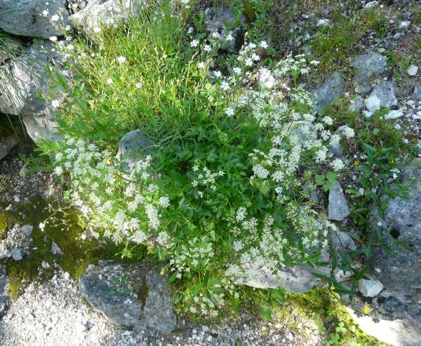 Hladnikia pastinacifolia Rchb.