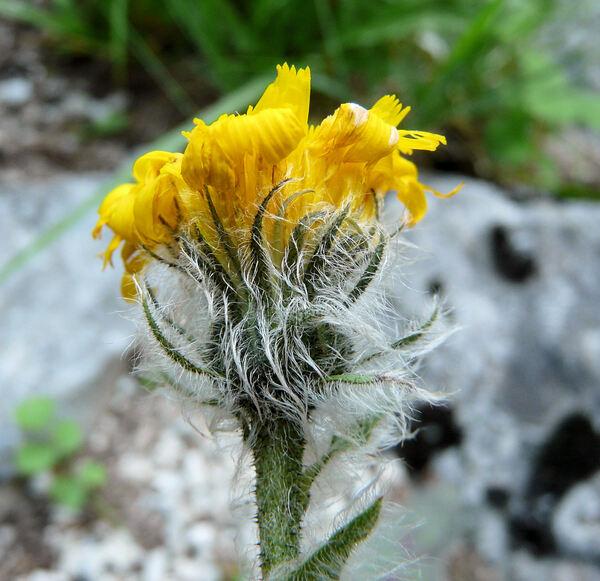 Hieracium gymnocephalum Griseb.