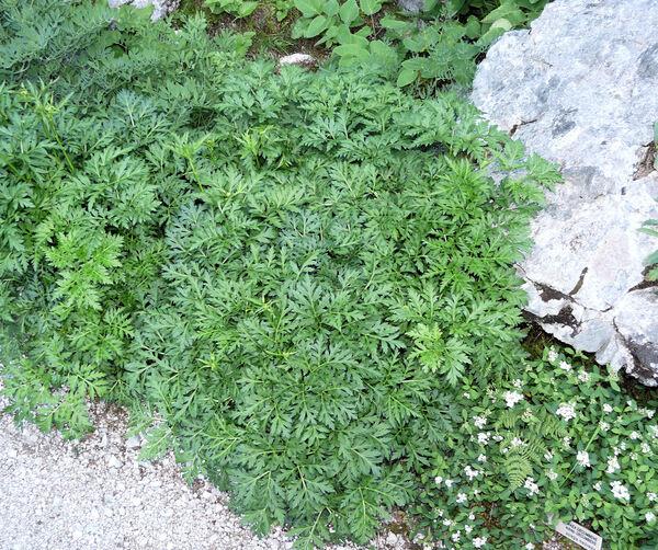 Grafia golaka (Hacq.) Rchb.