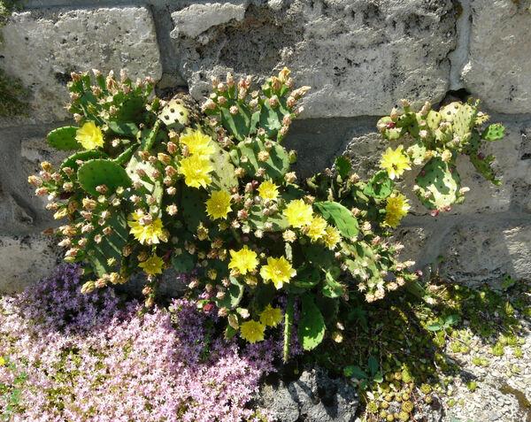 Opuntia vulgaris Miller