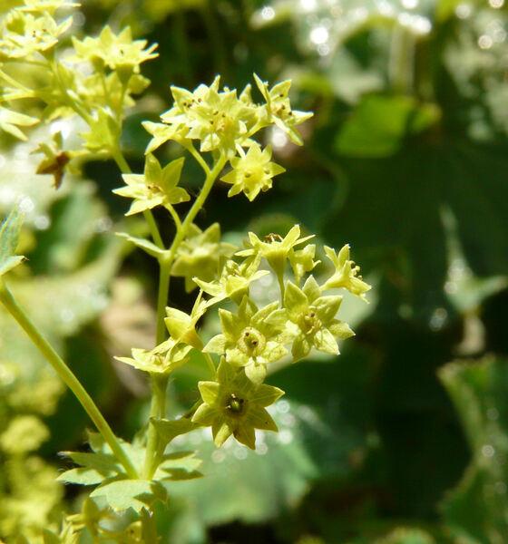 Alchemilla xanthochlora Rothm.