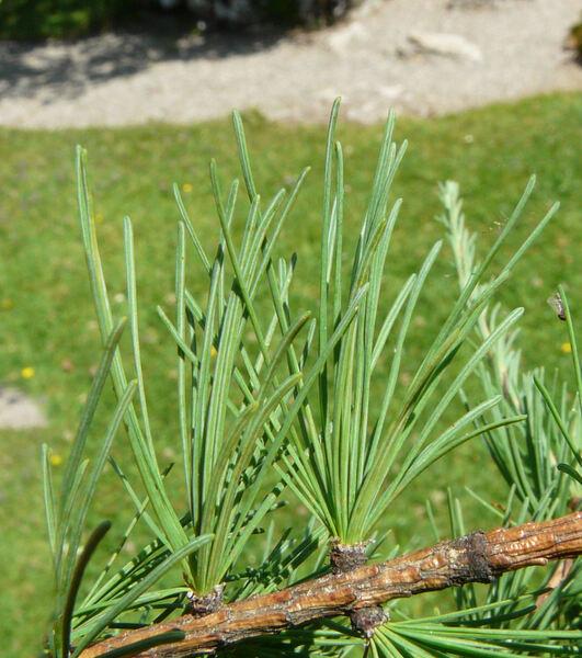 Larix laricina (Du Roi) K.Koch
