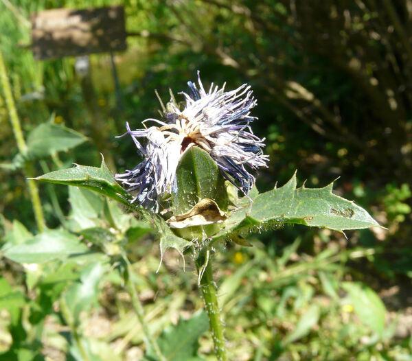 Carthamus caeruleus L.