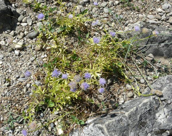 Jasione laevis Lam. subsp. laevis