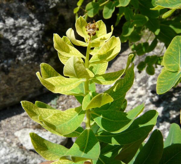 Euphorbia hyberna L. subsp. insularis (Boiss.) Briq.