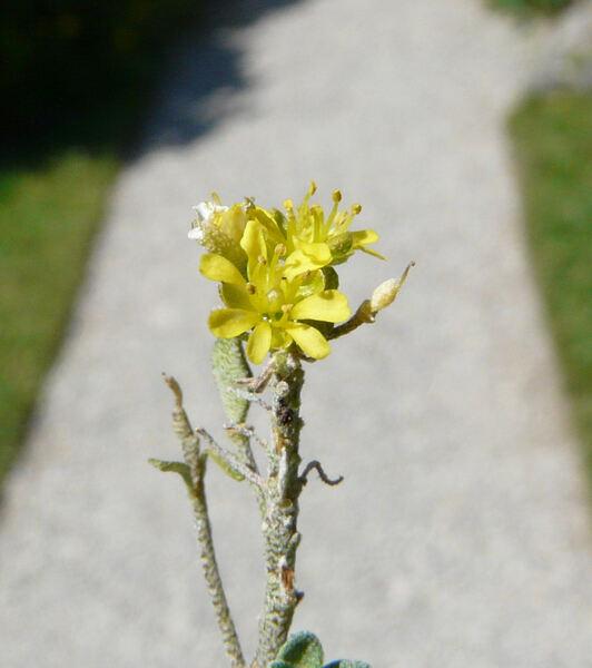 Alyssum robertianum Bernard