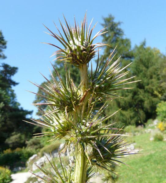 Ptilostemon casabonae (L.) Greuter