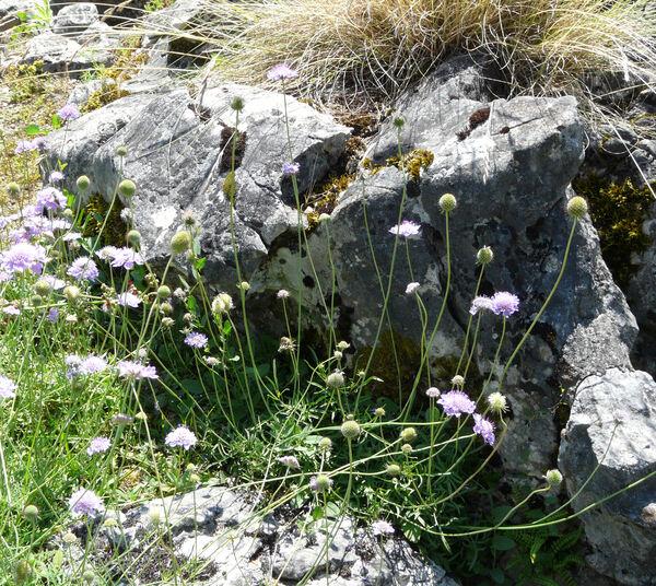 Scabiosa corsica (Litard.) Gamisans