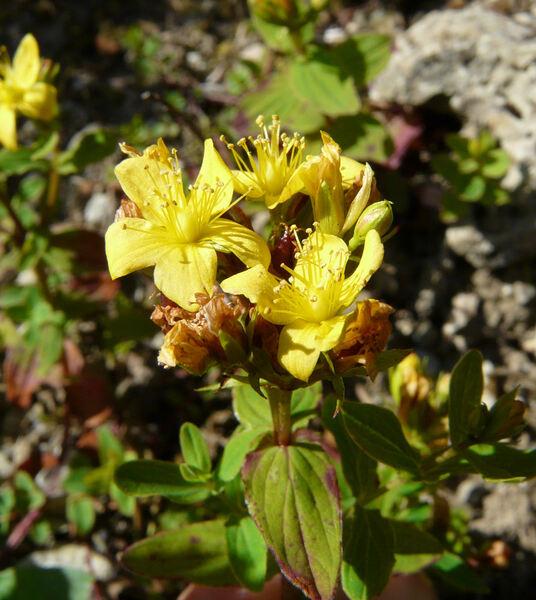 Hypericum corsicum Steud.