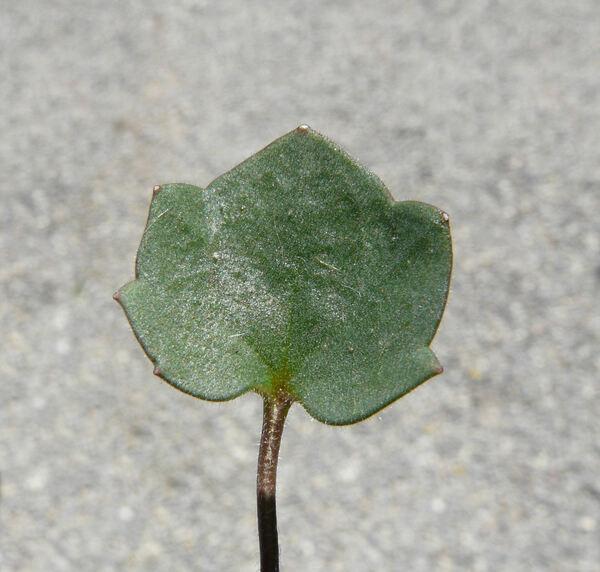 Cymbalaria pallida (Ten.) Wettst.