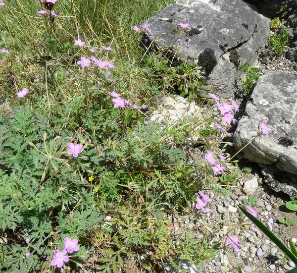 Erodium alpinum (Burm.f.) L'Hér.