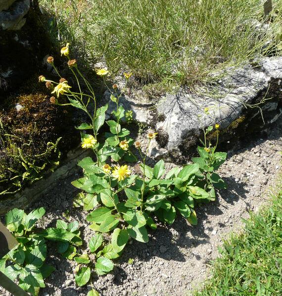 Jacobaea alpina (L.) Moench subsp. samnitum (Nyman) Peruzzi