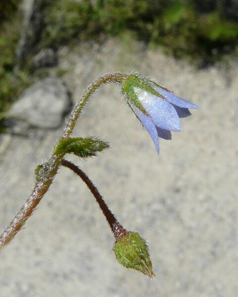 Borago pygmaea (DC.) Chater & Greuter