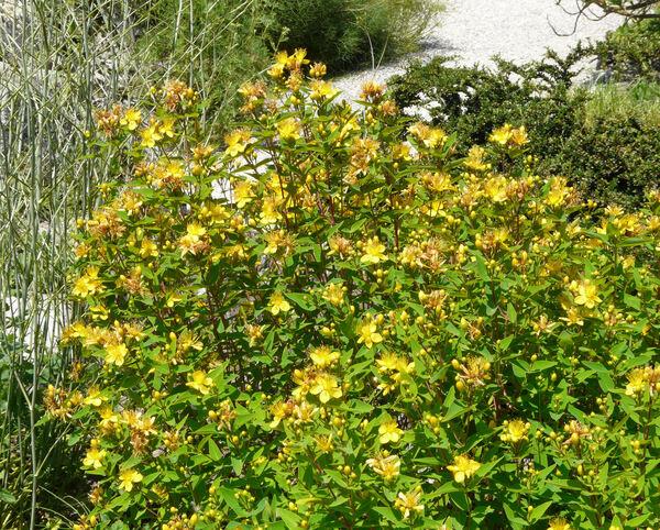 Hypericum hircinum L. subsp. hircinum