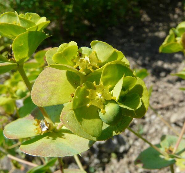 Euphorbia barrelieri Savi