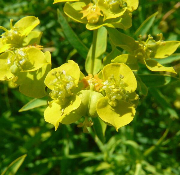 Euphorbia esula L. subsp. tommasiniana (Bertol.) Kuzmanov