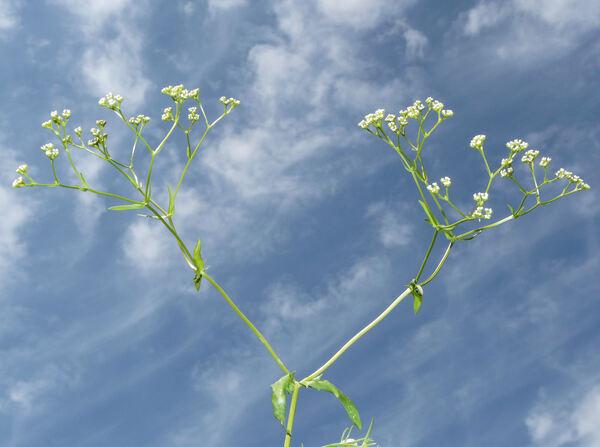 Valerianella carinata Loisel.