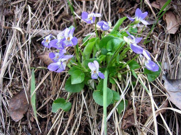 Viola collina Besser