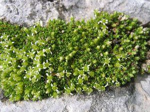 Facchinia cherlerioides (Sieber) Dillenb. & Kadereit subsp. cherlerioides