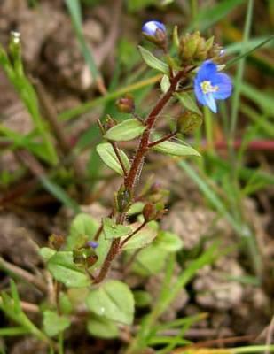 Veronica acinifolia L.