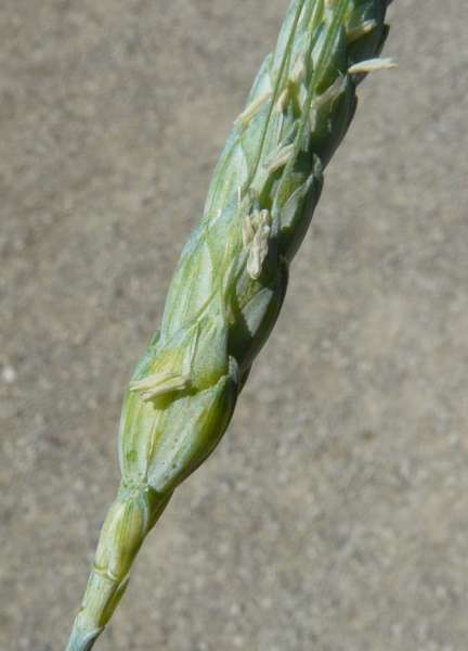 Triticum turgidum L. subsp. dicoccon (Schrank) Thell.