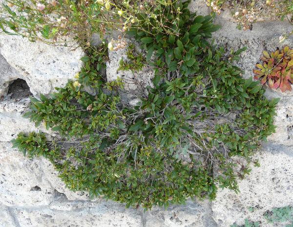 Atadinus pumilus (Turra) Hauenschild subsp. pumilus