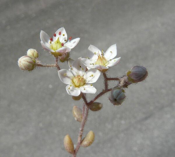 Sedum dasyphyllum L. subsp. glanduliferum (Guss.) Nyman
