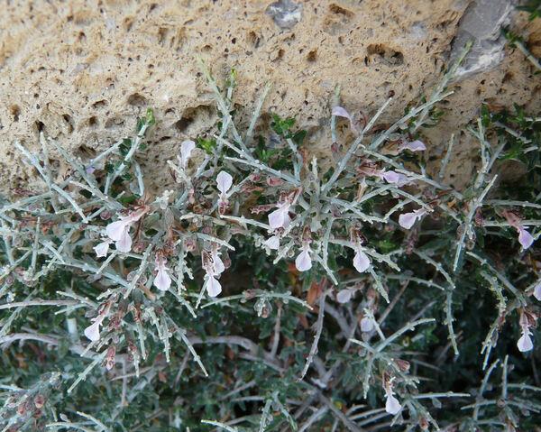 Teucrium subspinosum Pourr. ex Willd.