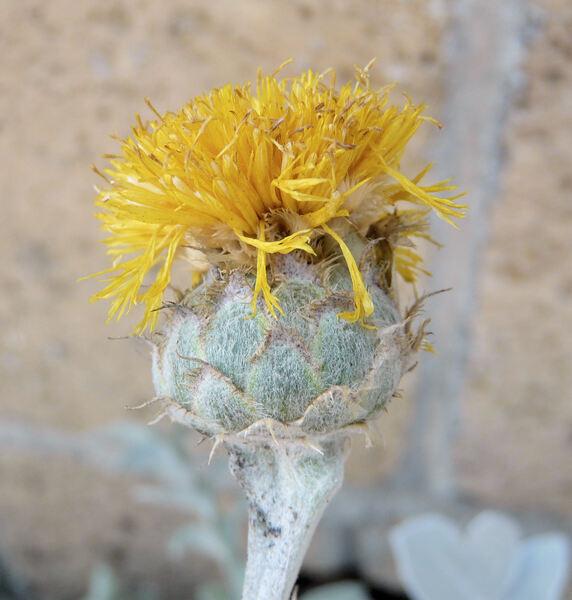 Centaurea ragusina L. subsp. ragusina