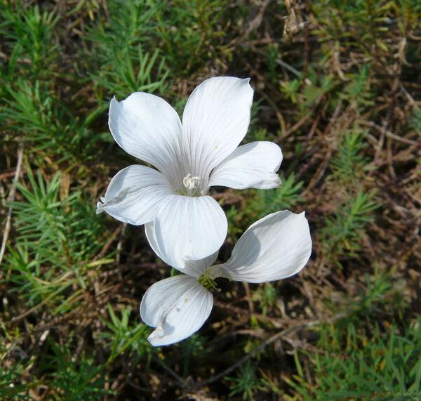 Linum suffruticosum L. subsp. appressum (Caball.) Rivas Mart.