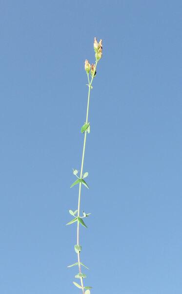 Hypericum pulchrum L.