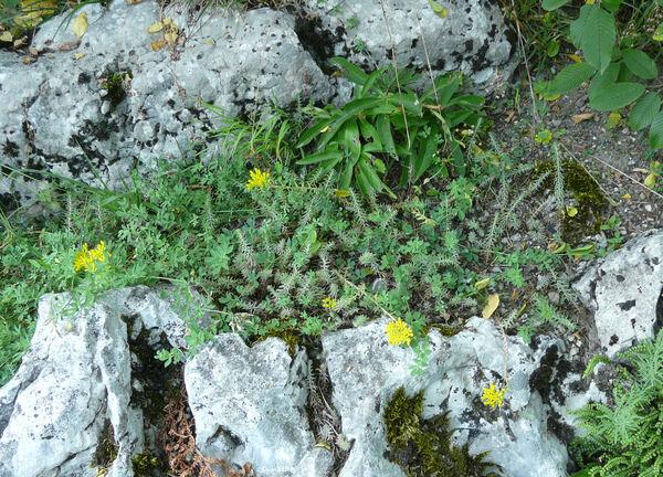 Petrosedum rupestre (L.) P.V.Heath