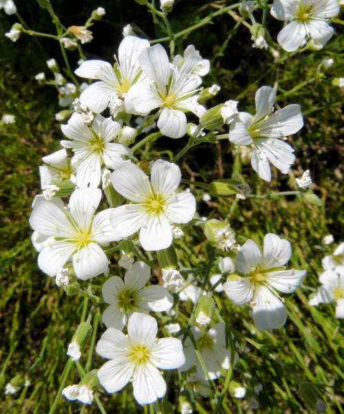 Minuartia laricifolia (L.) Schinz & Thell. subsp. kitaibelii (Nyman) Mattf.