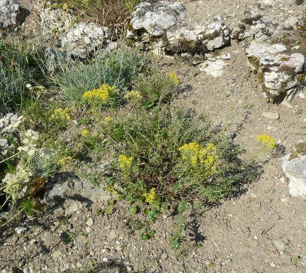 Alyssum tortuosum Waldst. & Kit. ex Willd.