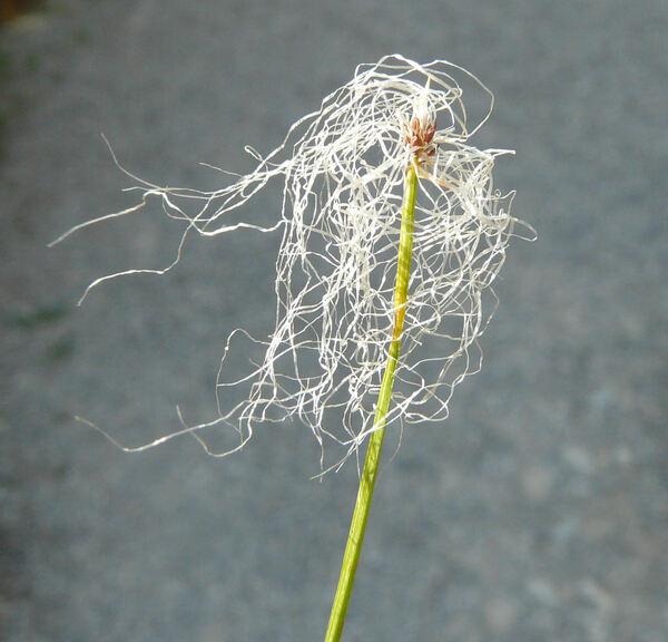 Trichophorum alpinum (L.) Pers.