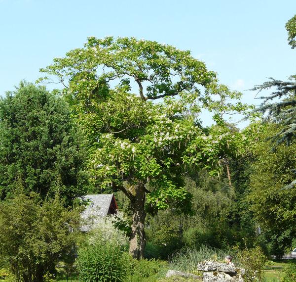 Catalpa speciosa Teas