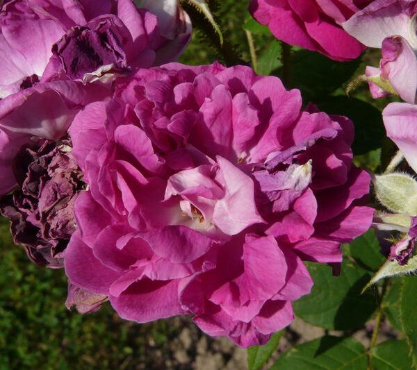 Rosa centifolia L.