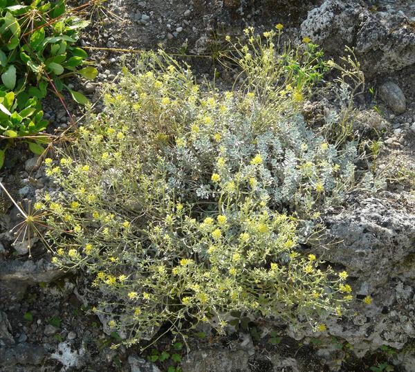 Alyssum cuneifolium Ten.
