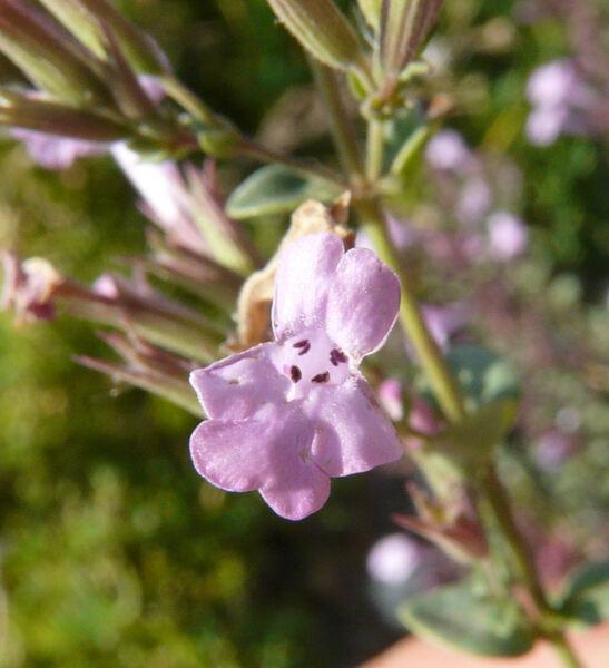 Micromeria marginata (Sm.) Chater