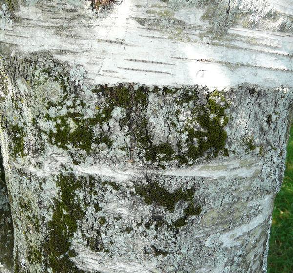 Betula papyrifera Marshall